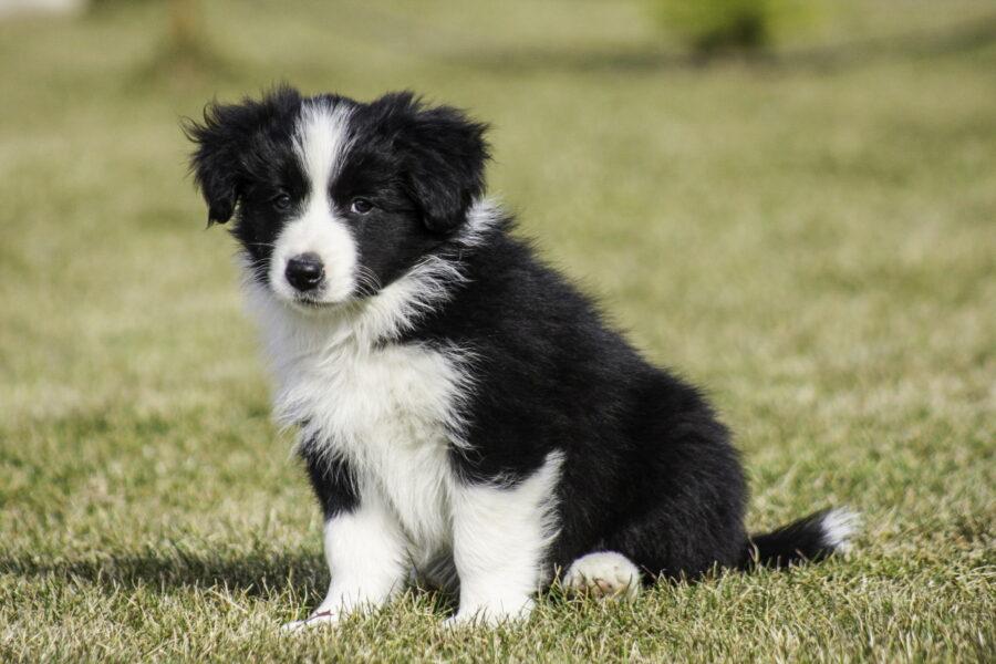 cucciolo di cane border collie