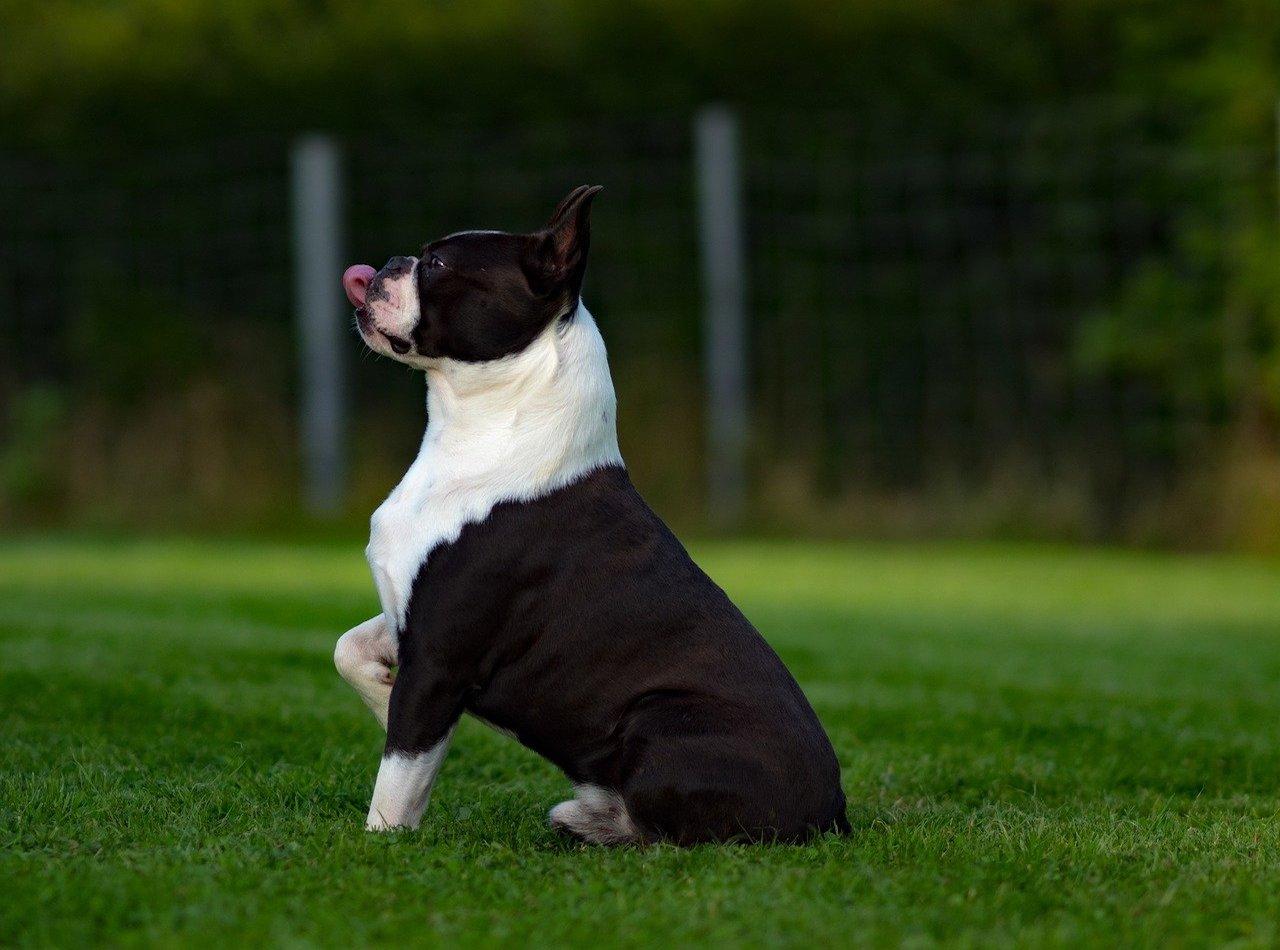 boston terrier in posa