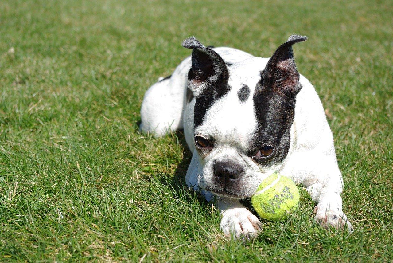 boston terrier gioca sul prato
