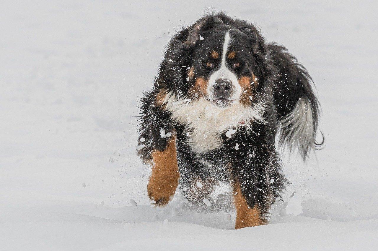 bovaro del bernese in mezzo alla neve