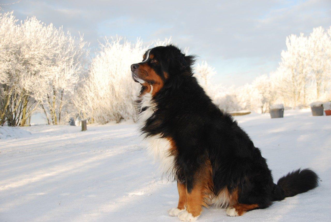 bovaro nella neve