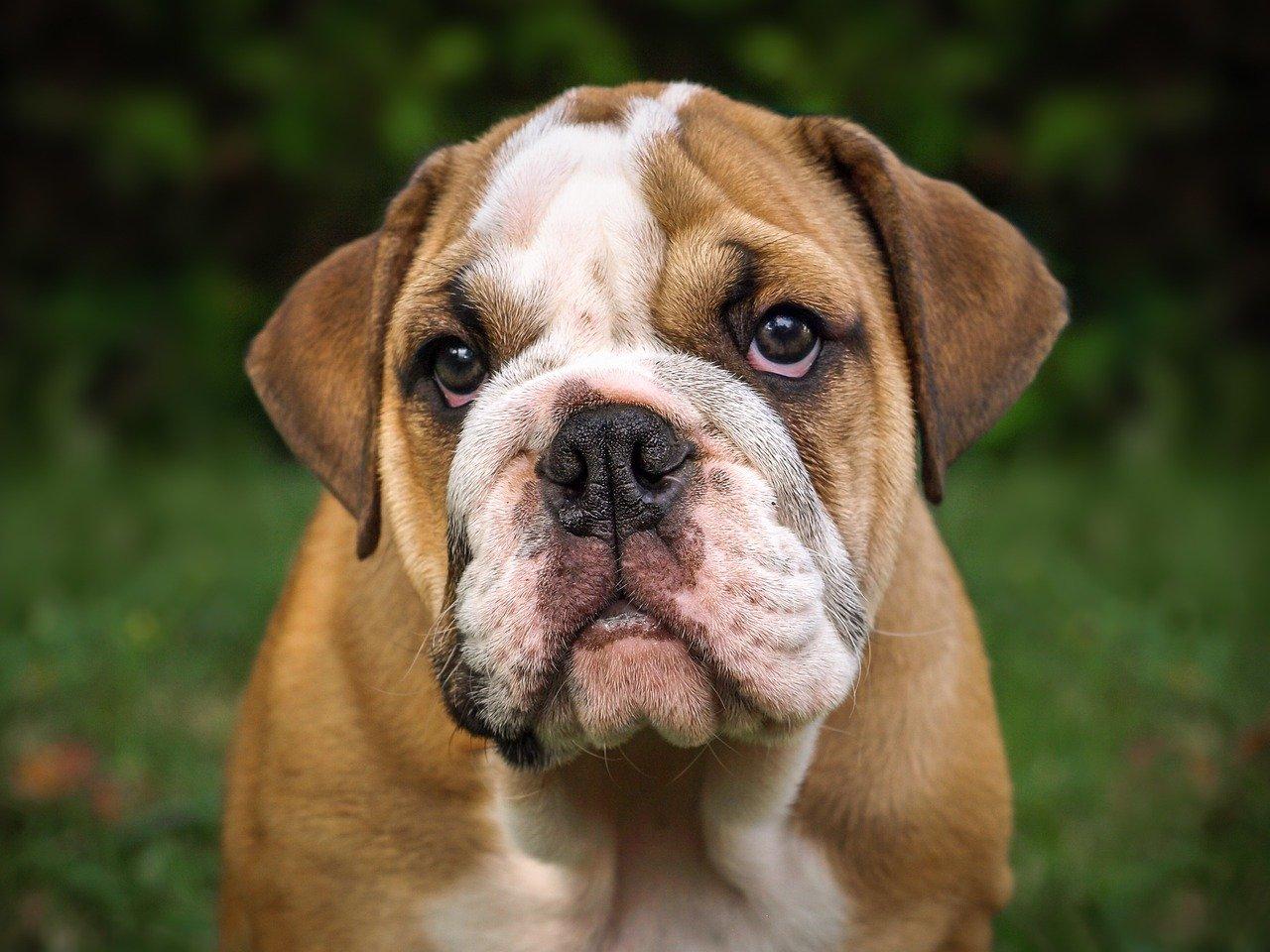 bulldog sguardo simpatico