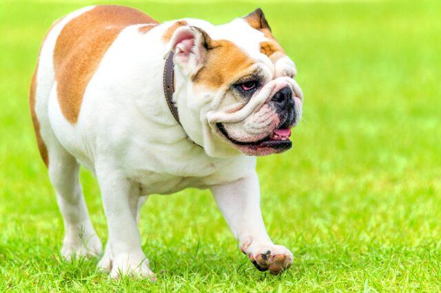 bulldog inglese nell'erba