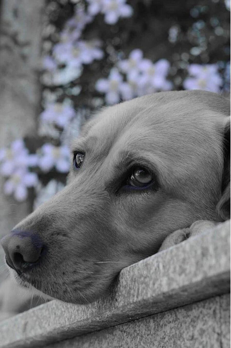 cane con muso triste