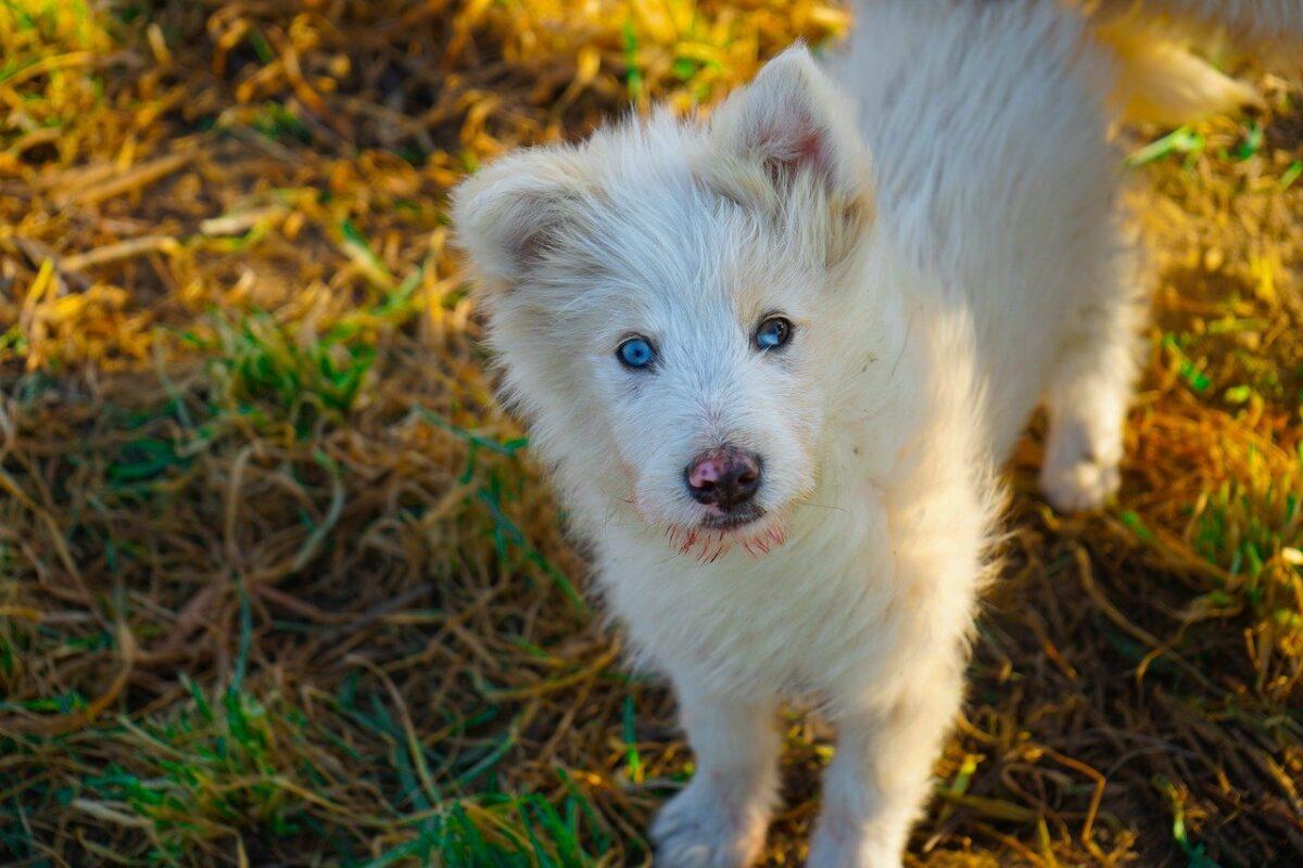 cane con occhi azzurri