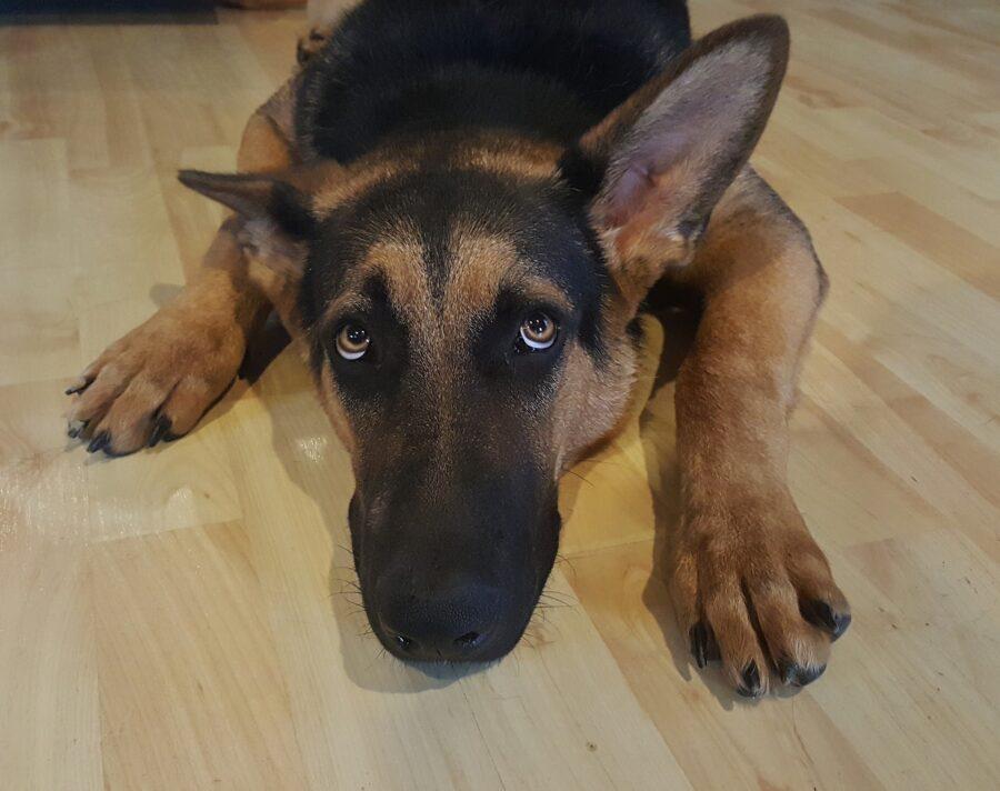 cane con muso poggiato a terra