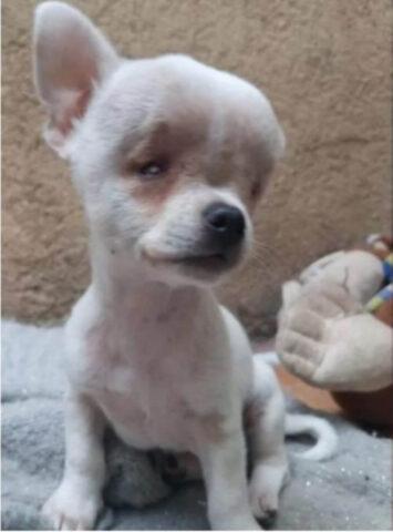 chihuahua con malformazione