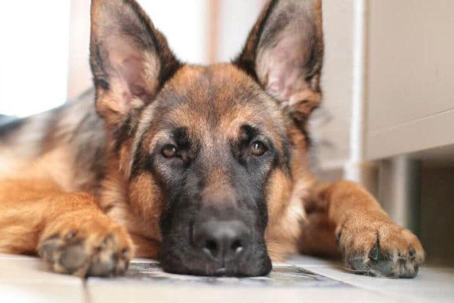 pastore tedesco cane debole