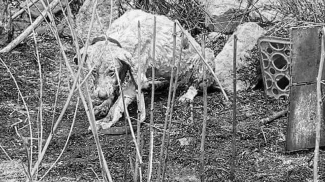 cane pastore ferito