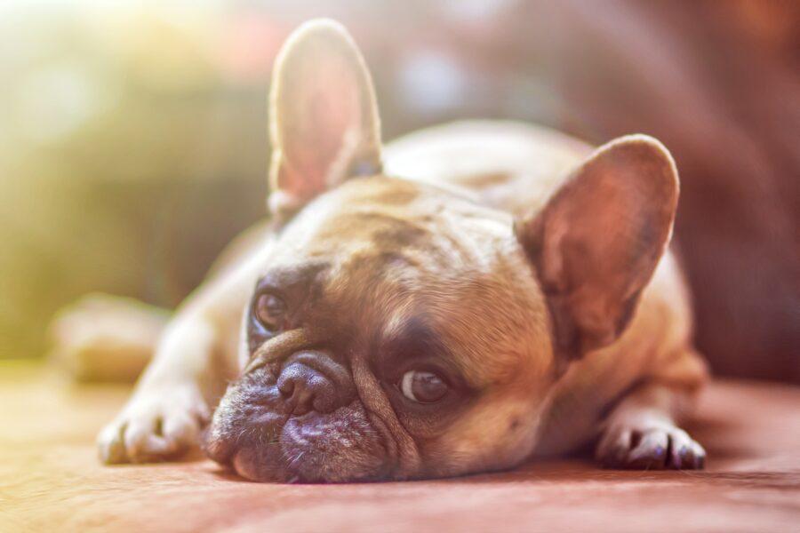 cane sdraiato