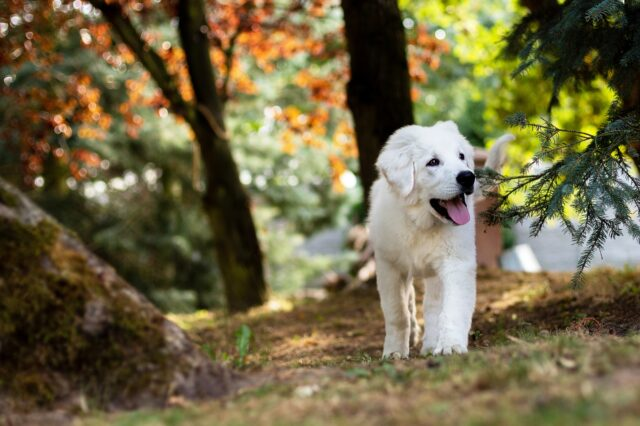 cane maremmano nel bosco