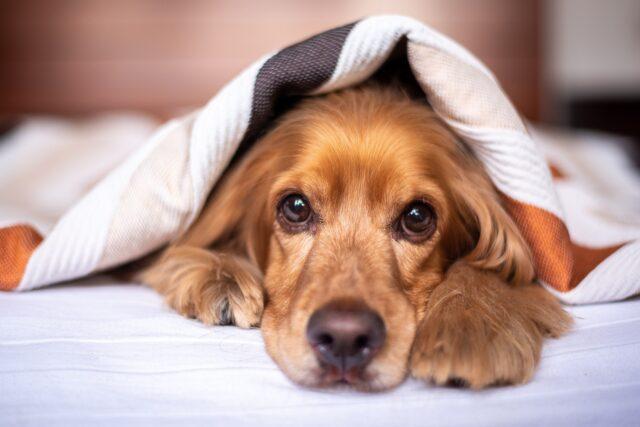 cane sotto alle coperte