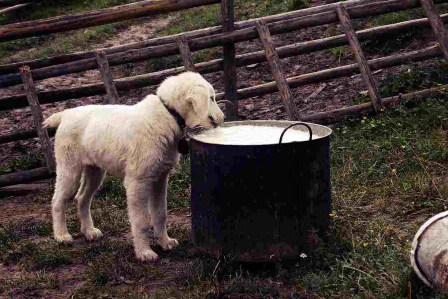 cane beve latte vaccino