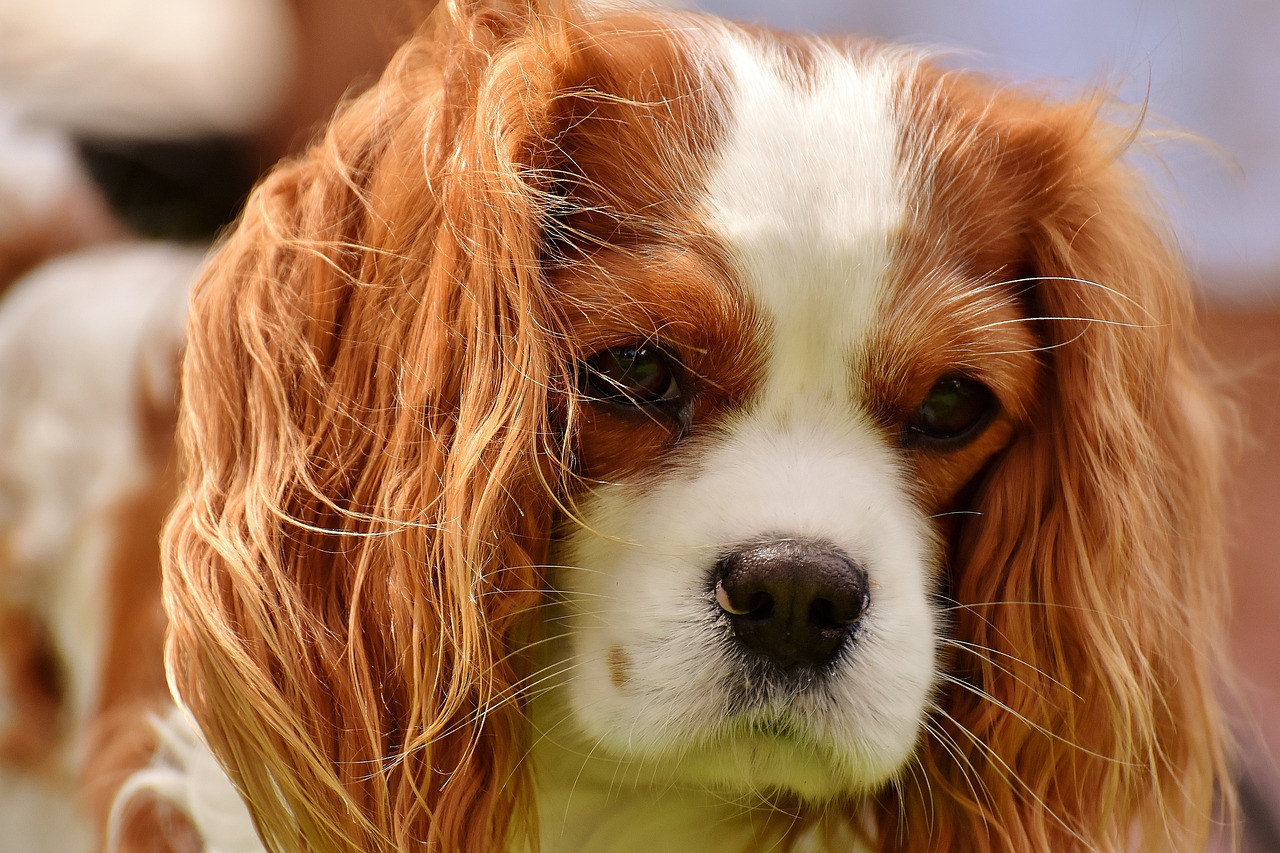 cane dalle orecchie lunghe