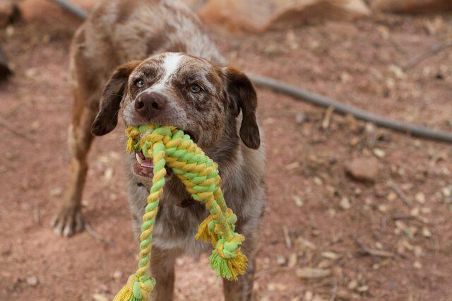 cane tiene in bocca una corda colorata