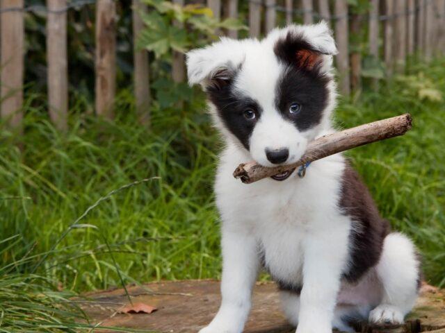 cucciolo di cane con bastone in bocca