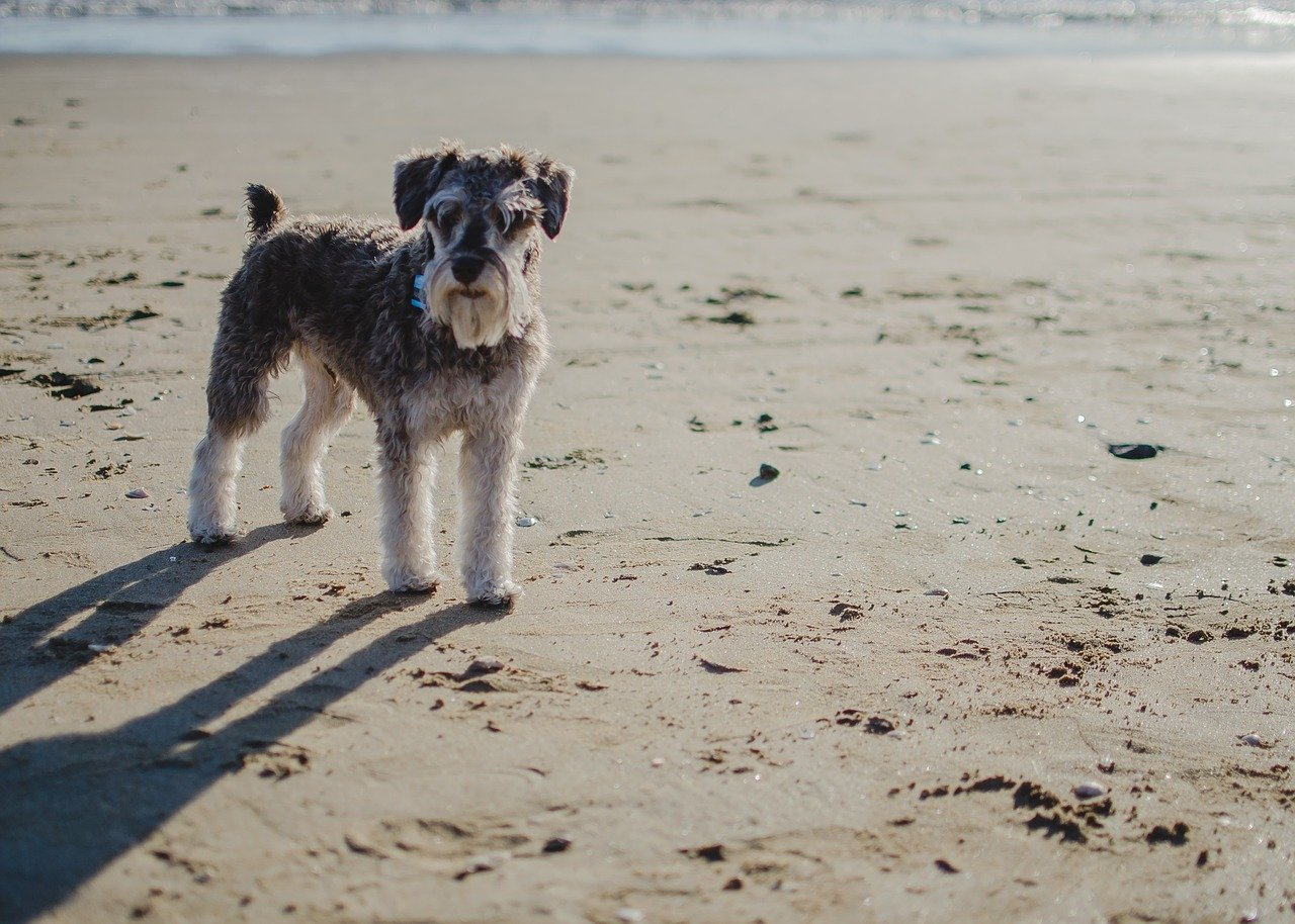 cagnolino cammina nella sabbia