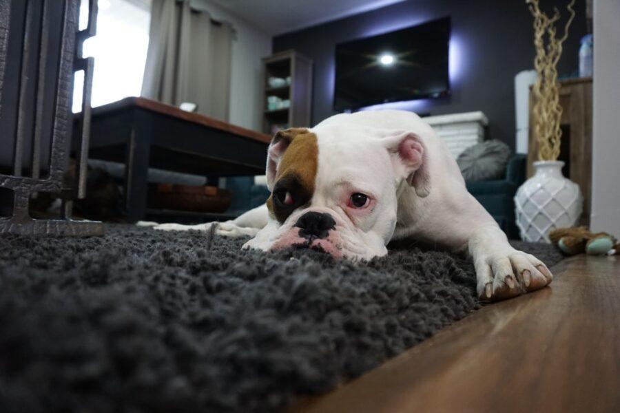 cane in salotto