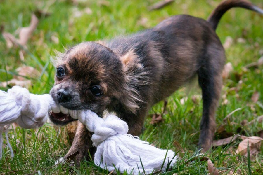 cane con giochino