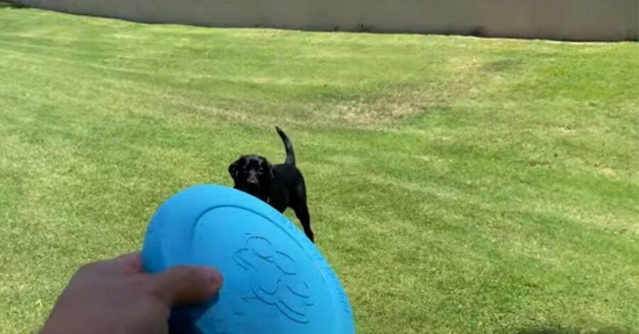 cagnolino che gioca con il frisbee