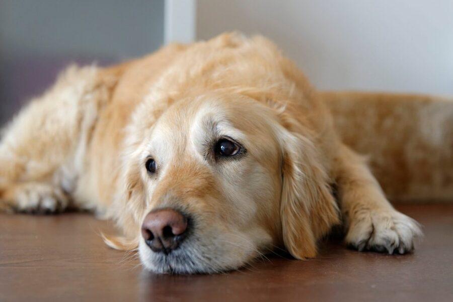 cucciolo di Labrador triste