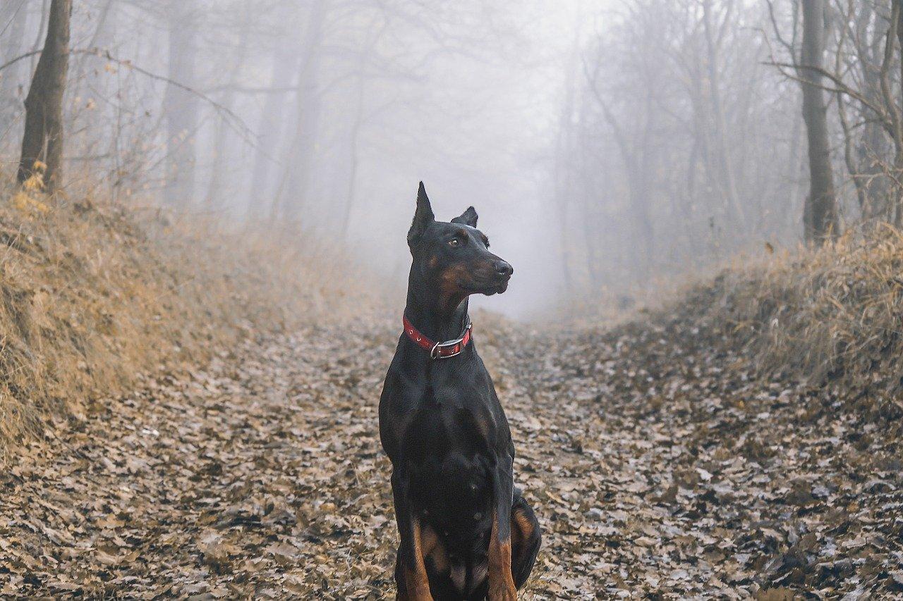 dobermann elegante nel bosco
