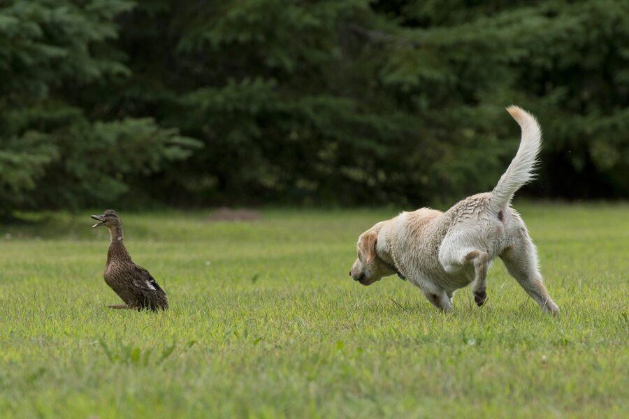 cagnolino bianco corre su un prato