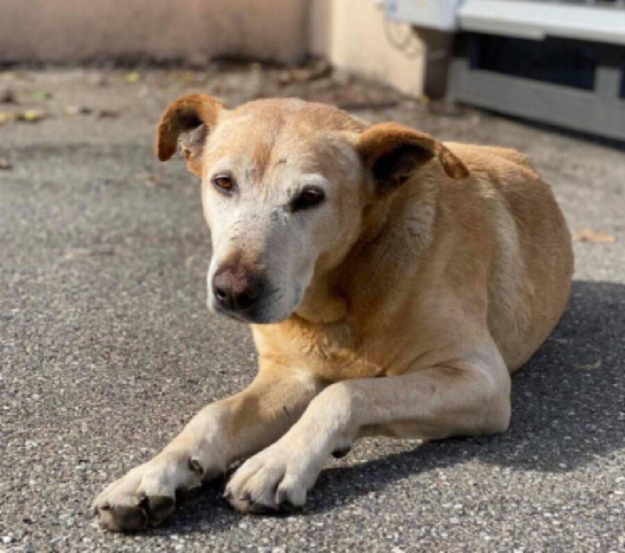 cane anziano biancone pelo chiaro