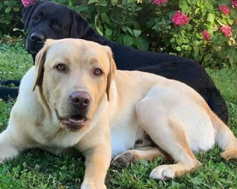 cani labrador insieme giardino