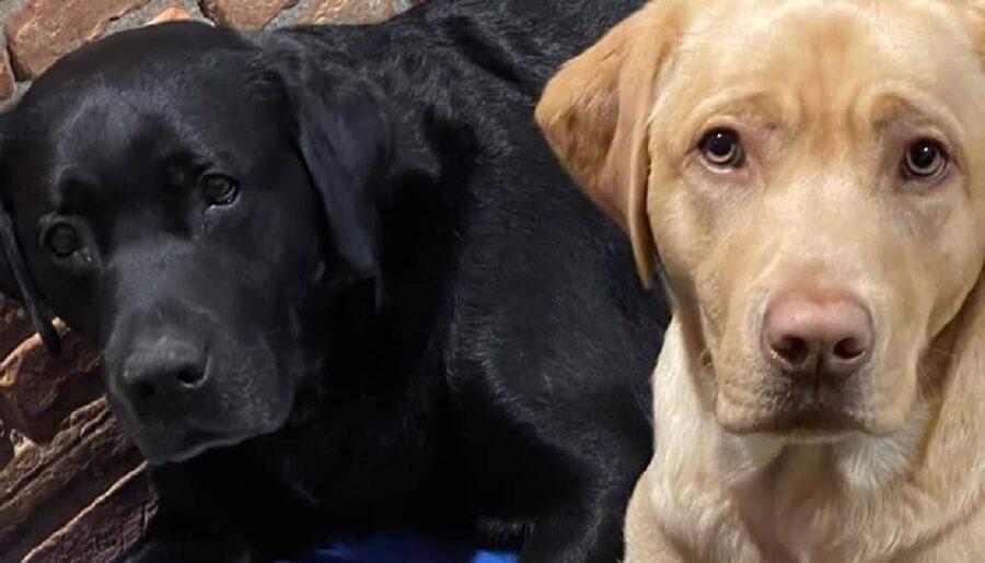 cuccioli labrador differenze colori