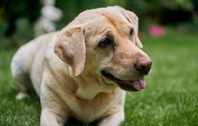 famiglia promette ricompensa per cani