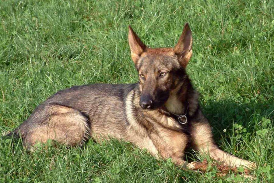 cane simile al lupo