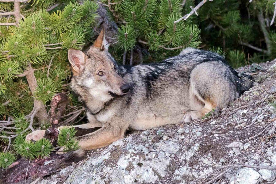 cane simile a un lupo