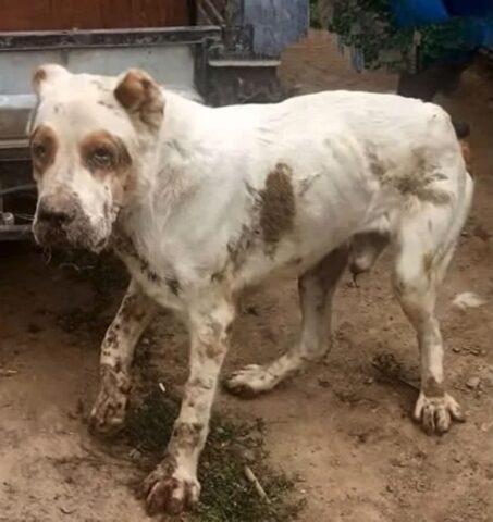 cane deperito e ferito