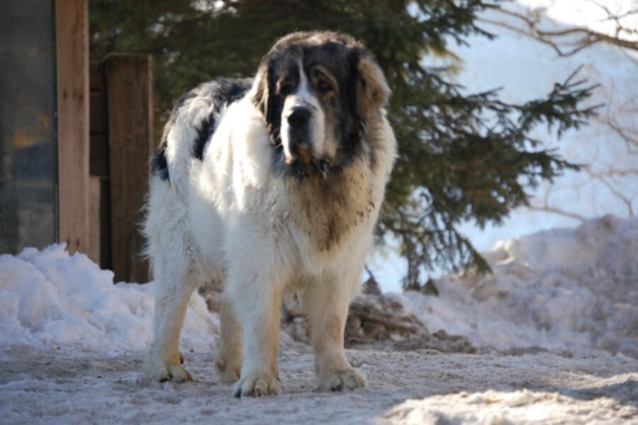 cane in montagna con neve