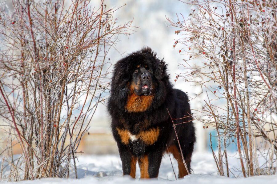 cane da montagna