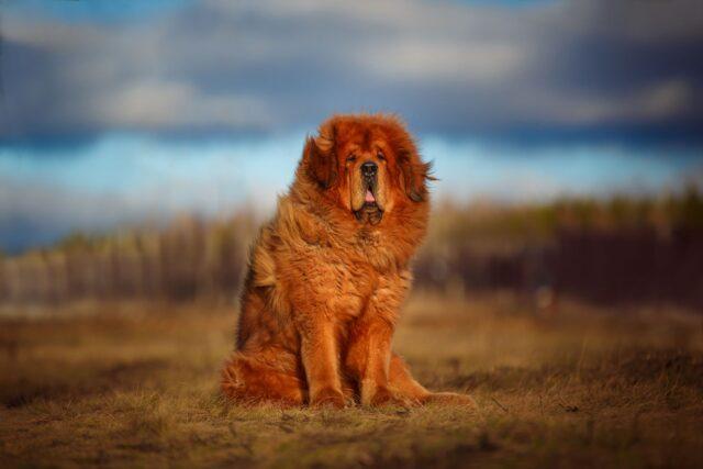 cane col pelo lunghissimo