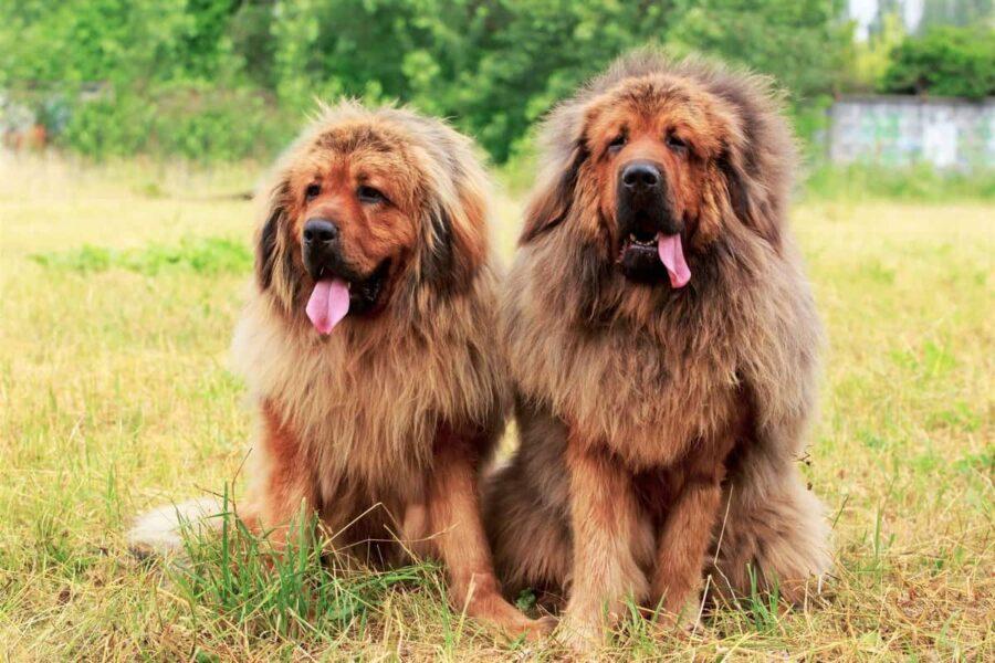 cani maschio e femmina