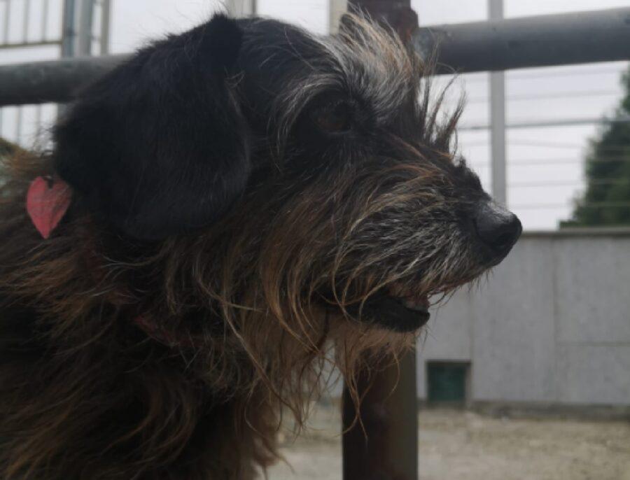 cane pelo lungo sul muso