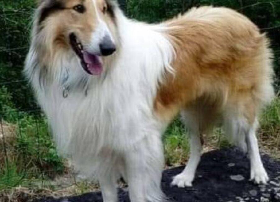 cane pastore scozzese taglia medio grossa