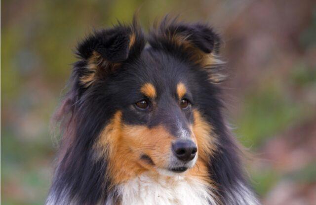 cane pastore scozzese scappa di casa
