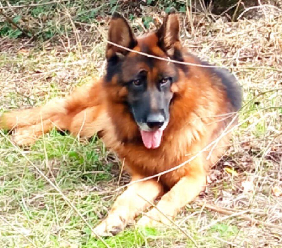 cane pastore tedesco charly disteso su prato
