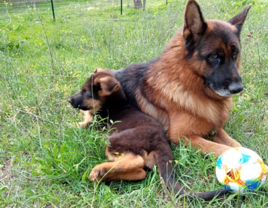 cagnolino assieme pastore tedesco grande