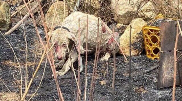 cane pastore bruciato