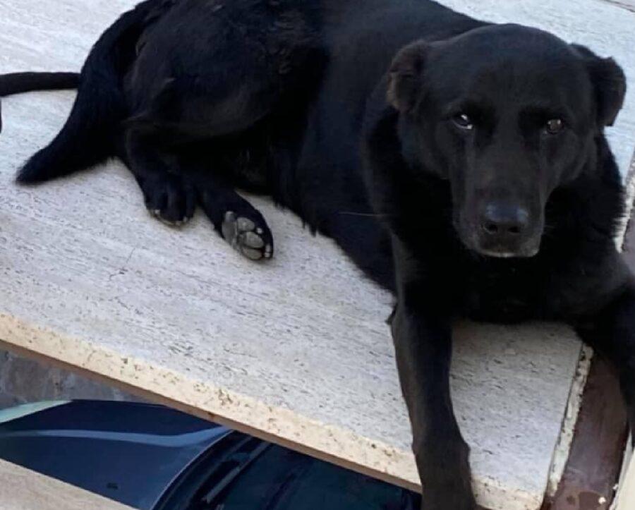 cane labrador sdraiato su lastra