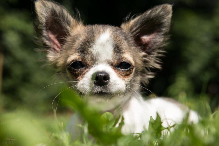 chihuahua con lo sguardo buffo