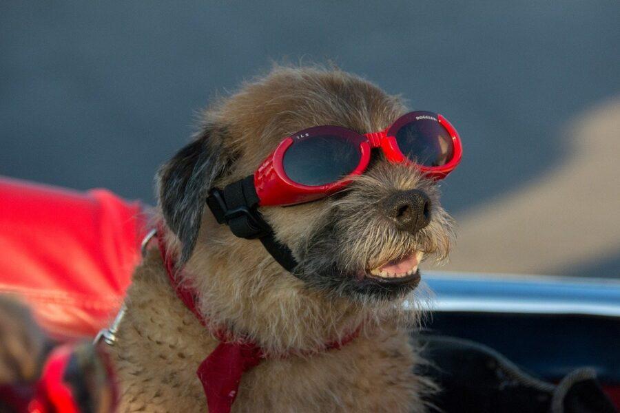 cucciolo di cane con occhialini da sole