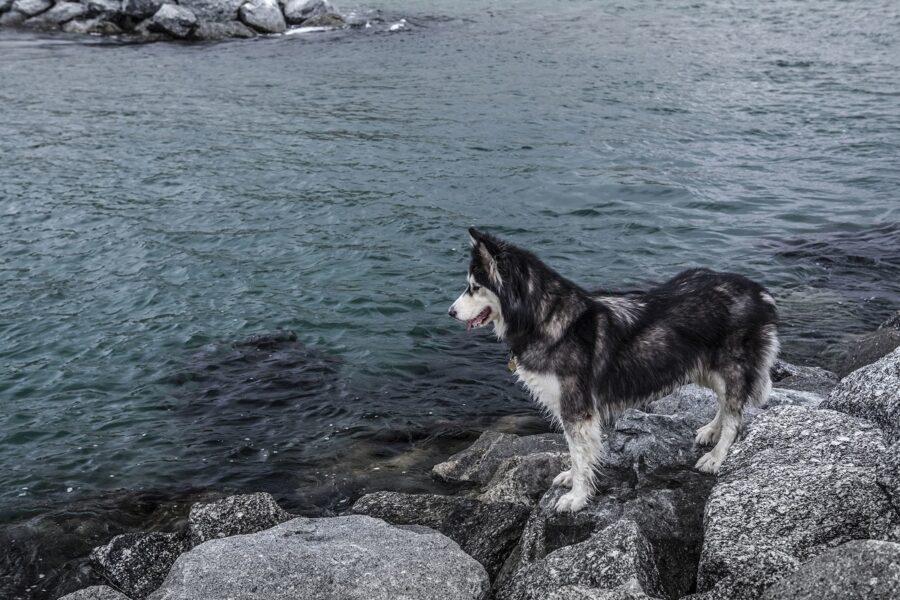 cucciolo di husky dal pelo bagnato
