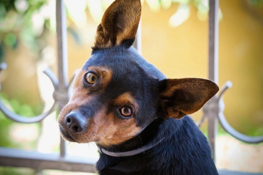 cane nero piccolo