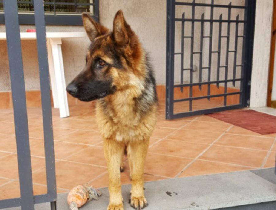 cane pastore tedesco giocattolo vicino